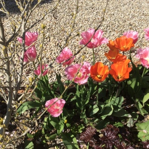 Tulips: about a foot tall, that are next to the fritillaries