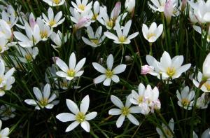 Zephyr Lilies from davesgarden.com
